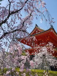 仁和寺②桜