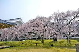 醍醐寺桜①